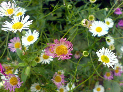 Erigeron-karvinskianus, 30 november 2010