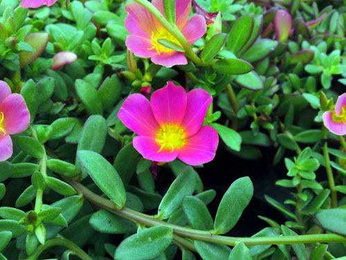 Portulaca-purper-150710, 3 december 2010