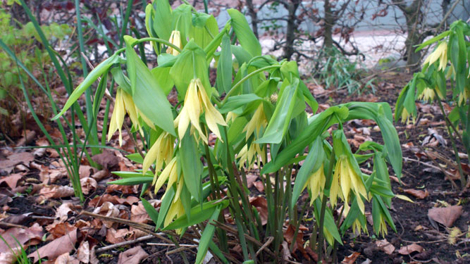 Uvularia grandiflora, 22 april 2012