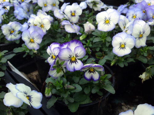 Viola cornuta 'Purple Picotee', 3 december 2010